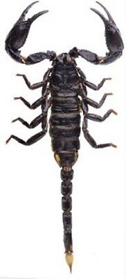 One Asian Giant Forest Scorpion Heterometrus Spinifer Scorpion Unmounted