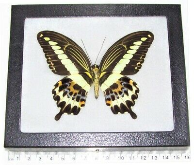 Real Framed Butterfly Yellow Papilio Gigon Swallowtail Verso Indonesia