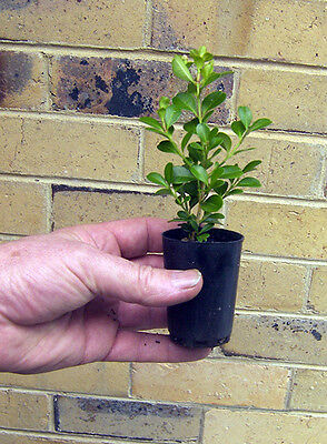 Trays Of Forty Two Japanese Box Hedge Plants In Tubes