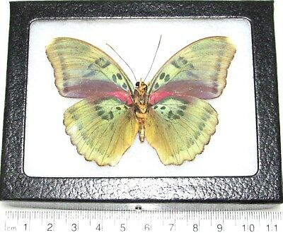 Real Framed Butterfly Pink Green Euphaedra Verso Africa E9