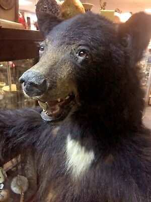 Very Large Female North American Black Bear - Amazing Piece - Very Rare - L@@k