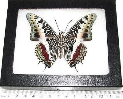 Real Framed Butterfly Charaxes Castor Verso Africa