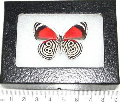 Real Framed Butterfly Red White Blue Diathria Clymena 88 Ocho Verso Peru