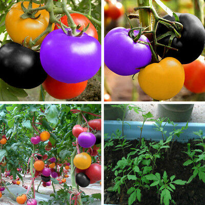200Pcs Rainbow Tomato Seeds Garden Organic Fruit Vegetable Plant Home Yard A