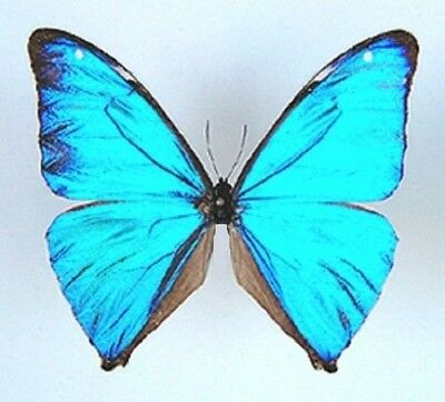 One Real Butterfly Blue Morpho Aega Unmounted Wholesale Wings Closed