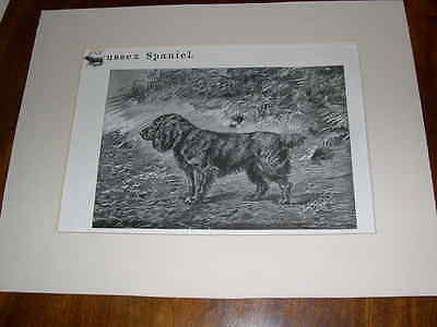 "Rare Large Antique Sussex Spaniel Dog Print 1907 By P. Mahler ""bridford Maubert"""