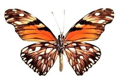 One Real Butterfly Orange Silver Dione Juno Verso Peru Unmounted Wings Closed