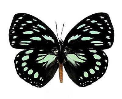 One Real Butterfly Euxanthe Eurinome Africa Unmounted Wings Closed