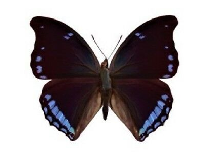 One Real Butterfly Blue Charaxes Laodice Africa Unmounted Wings Closed