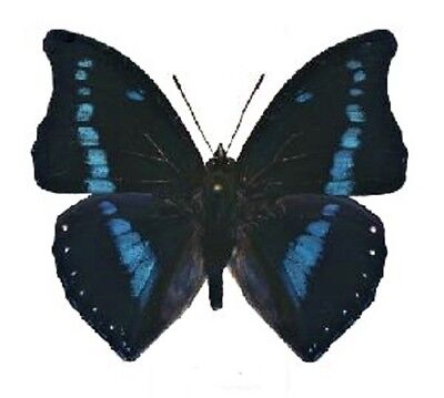 One Real Butterfly Blue Charaxes Porthos Africa Unmounted Wings Closed