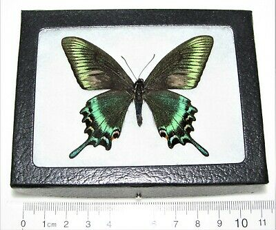 Real Framed Butterfly Blue Green Purple Papilio Maacki Swallowtail