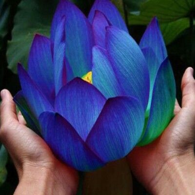 Bonsai Lotus Water Lily Flower Bowl-Pond 10 Fresh Seeds Aquatic Plant Blue Lotus
