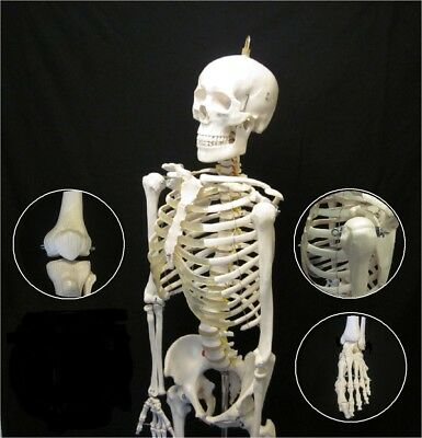 Anatomical Human Skeleton Advanced Life Size Anatomy Model with Stand