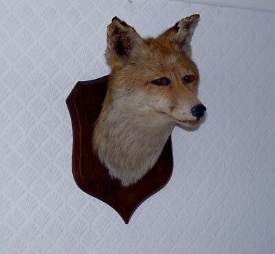 ANTIQUE TAXIDERMY MOUNTED CLOSED MOUTH FOX HEAD P SPICER & SONS circa 1900