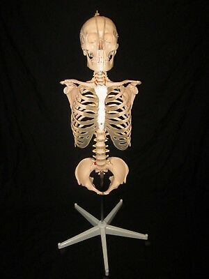 New Life Size Human Anatomical Skeleton Torso Model w/Skull, Pelvis + Stand