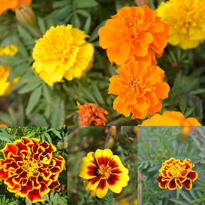 100 Pcs Tagetes Patula Seeds French Marigold Mixed Flower Garden Balcony Decor A