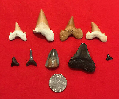 Lot of Otodus Fossil Shark Tooth Moroccan Morocco not Megalodon teeth