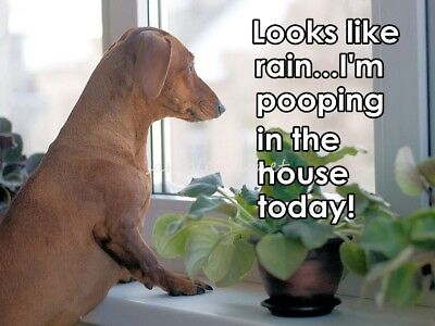 "DACHSHUND Pooping In the House 4"" x 3""  Fridge Magnet"