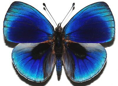 Lot Of 10 - Real Butterfly Blue Asterope Leprieuri Peru Unmounted Wings Closed