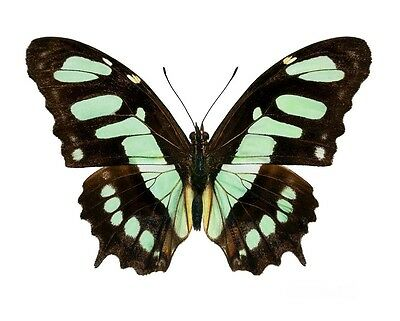 Lot Of 10 - Real Butterfly Green Siproeta Stelenes Malachite Recto Wings Closed