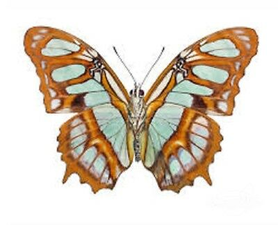 Lot Of 10 - Real Butterfly Green Siproeta Stelenes Malachite Wings Closed