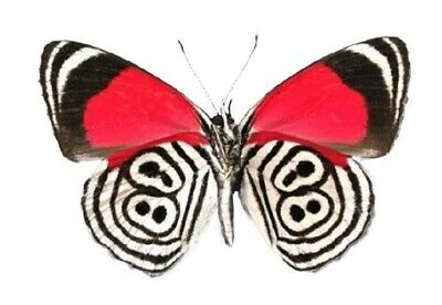 ONE REAL BUTTERFLY RED PAULOGRAMMA PERISTERA VERSO PERU UNMOUNTED WINGS CLOSED
