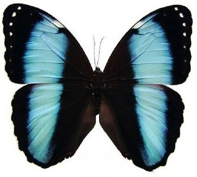 Lot Of 10 - Real Butterfly Blue Black Morpho Achilles Unmounted Wings Closed