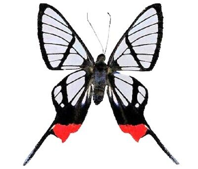 One Real Butterfly Red Clear Wing Chorinea Faunus Peru Unmounted Wings Closed