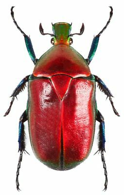 One Real Red Scarab Beetle Torynorrhina Flammea Thailand Unmounted
