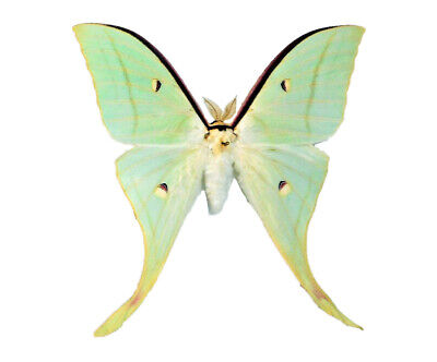 One Real Green Luna Moth Actias Selene Ningpoana Male Unmounted Wings Closed
