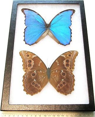 Real Wings Framed Butterfly Blue Morpho Didius Flat Paper Body Top + Bottom Side