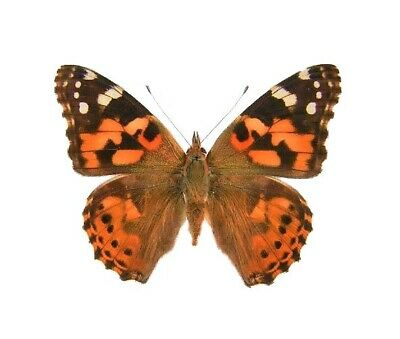 One Real Butterfly Painted Lady Vanessa Cardui Papered Unmounted Wings Closed