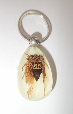 Insect Key Ring Grass Cicada Mogannia hebes Specimen YK09 Glow in the Dark