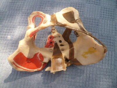 Original Adam Rouilly Female Pelvis with Ligaments  - Teaching Aid (no stand)