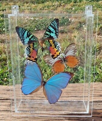 Taxidermy Clear Acrylic Encased 3 BUTTERFLY Wall Mount DISPLAY CASE HANGING EC