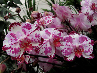 Orchidee Phalaenopsis Magic Art