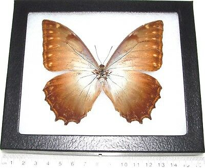 Real Framed Butterfly Morpho Theseus Ssp Panama