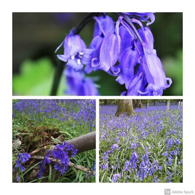 1000 x Cultivated English Bluebell Bulbs Hyacinthoides non-scripta.