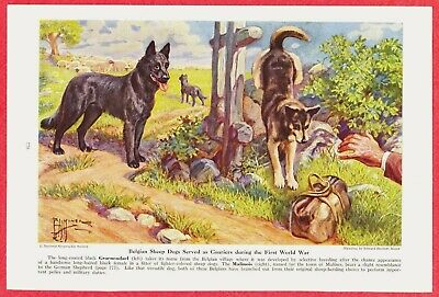 1941 Dog Print~BELGIAN SHEEP DOG (Groenendael & Malinois)by Edward Herbert Miner