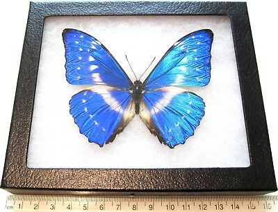 Real Framed Butterfly Blue Morpho Cypris Smalli Repaired Panama