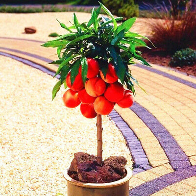 10 Pcs Sweet Peach Tree Seeds Delicious Fruit Bonsai Garden Plant Decor Fashion