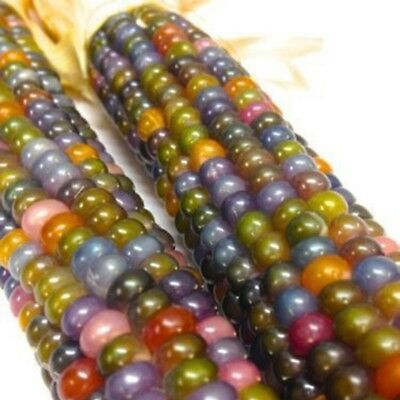Vegetable Glass Gem Corn 15 Pcs Seeds Delicious Sweet Colorful (Organic)