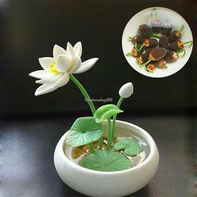 Flower Seeds Bowl Lotus Hydroponic Aquatic Plants Mini Water Lily Seeds C1MY