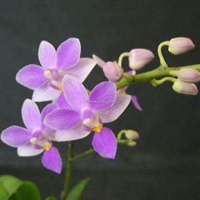 100Pcs Rare Mini Orchid Seeds Flower Phalaenopsis Indoor Garden C1MY