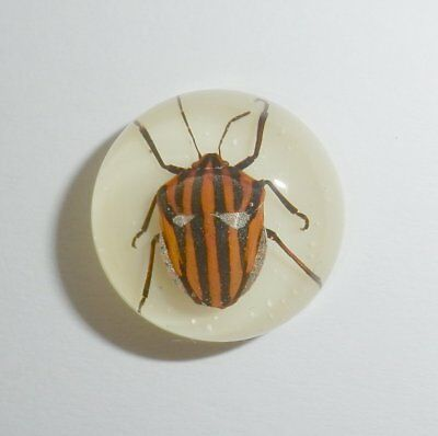 Insect Cabochon Stripe Bug Specimen Round 19 mm on white 1 Piece Lot