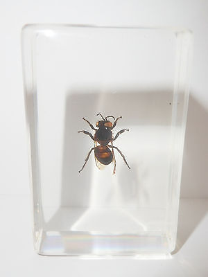 Blue Bottle Fly Calliphora vomitoria in clear Block Education Insect Specimen