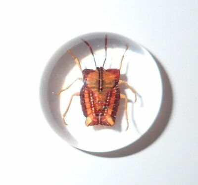 Insect Cabochon Ghost Bug Specimen 25 mm Round Clear 1 piece Lot