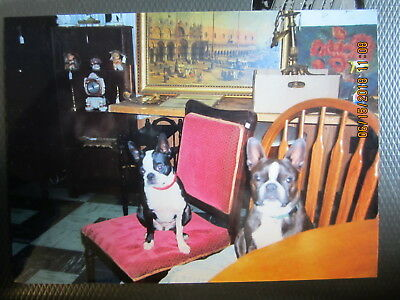 """4 x 5 1/2"""" photo of 2 BOSTON TERRIER DOGS working the auciton"""