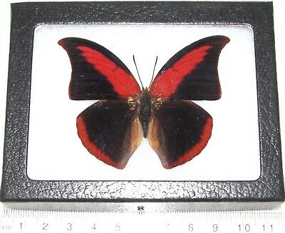 Real Framed Butterfly Red Anaea Suprema A1 Super Rare