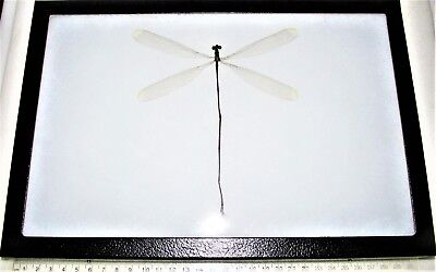 Real Framed Huge Giant Dragonfly Damselfly 12In X 8In Frame! D3